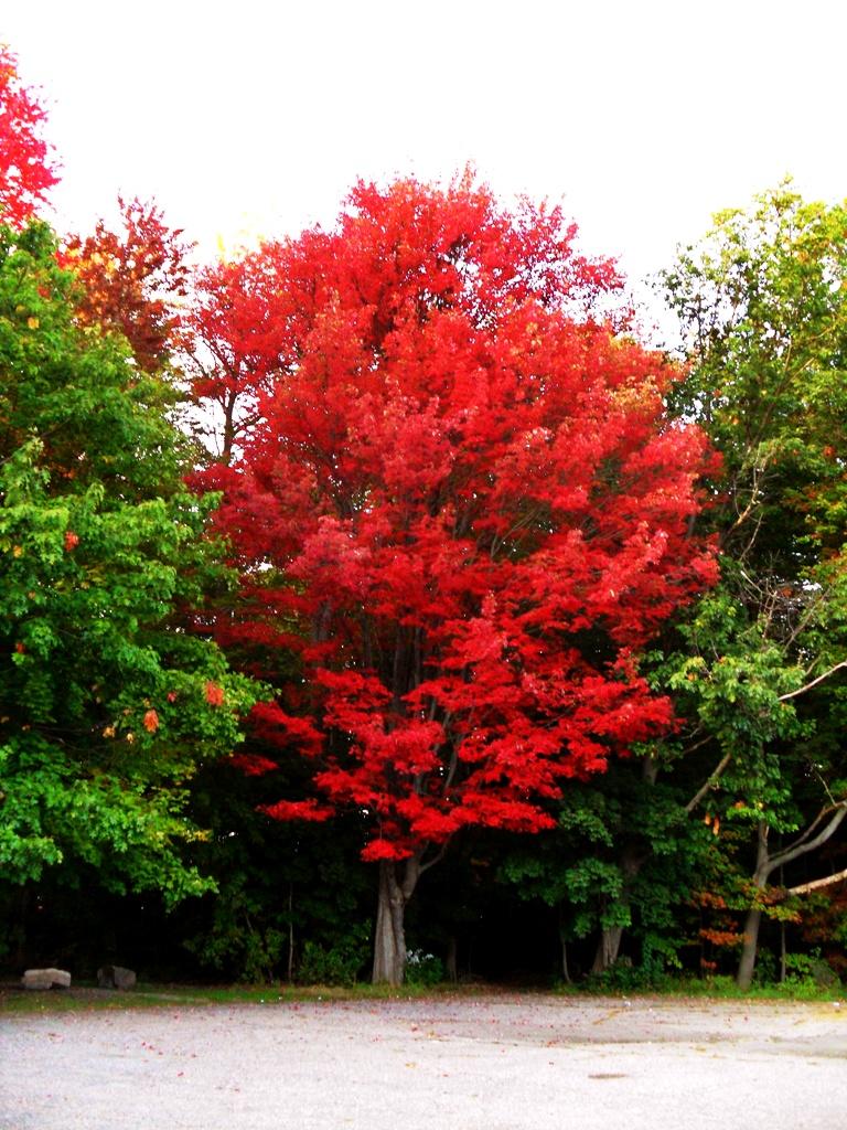 Leddy Park Maple 2015, Burlington by Heavenly Ryan